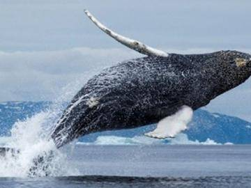 Bitcoin is again pulling the strings: the Tactics of the major cryptocurrency whale from Tokyo